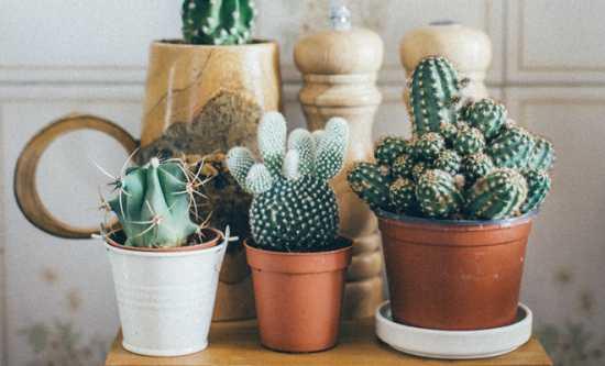 cactus para la mala suerte