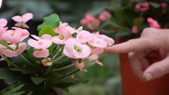 Espina de cristo flores