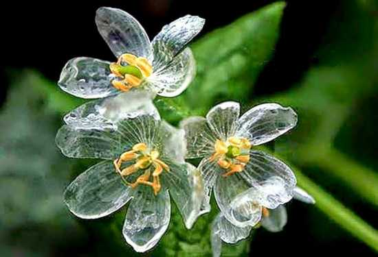 Grayi-Diphyllelia flor esqueleto naturaleza