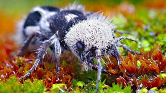 Naturaleza - hormiga panda