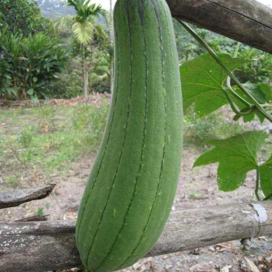Luffa fruto esponja natural